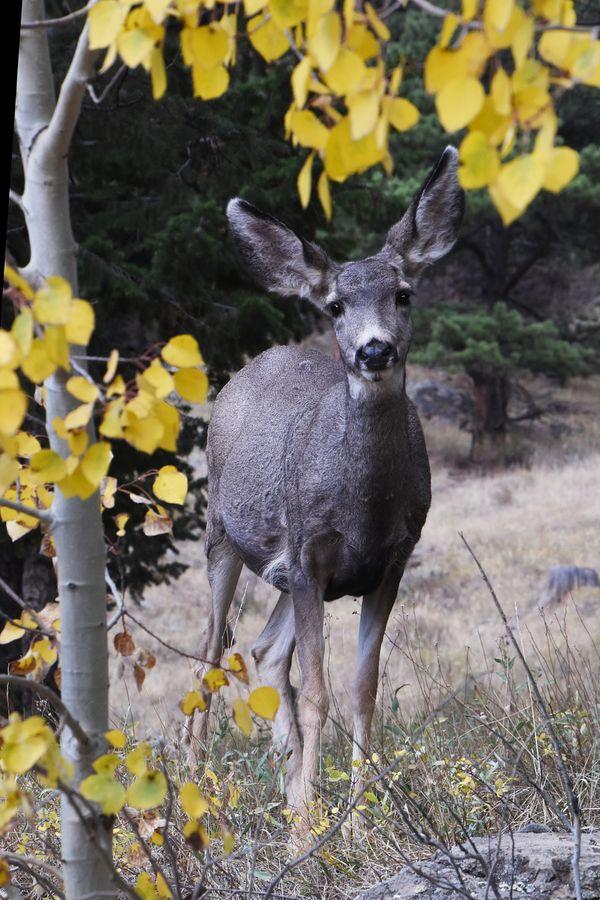 A mule deer among yellow aspen leaves. thumbnail