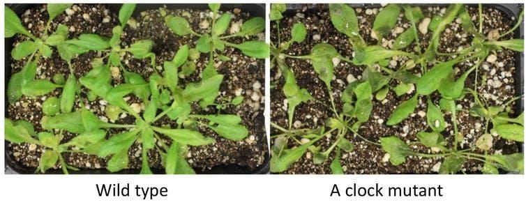To Make Precision Medicine, Scientists Study the Circadian Rhythms in Plants