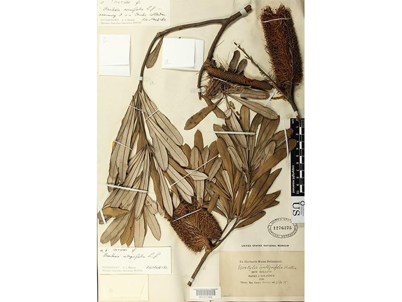 250 Years Ago, Joseph Banks Documented Australia's Glorious Botanical Bounty