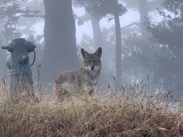A coyote on Wolfback Ridge in Sausalito, California  thumbnail