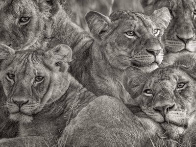 African Lionesses by Lakshitha Karunarathna, 2017 Grand Prize