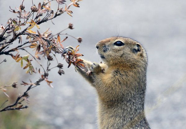 Artic Ground Squirrel eating thumbnail