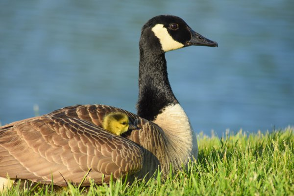 Mother Goose Shelters Her Baby Under Her Wing thumbnail