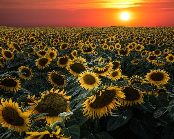Sunflower Sea thumbnail