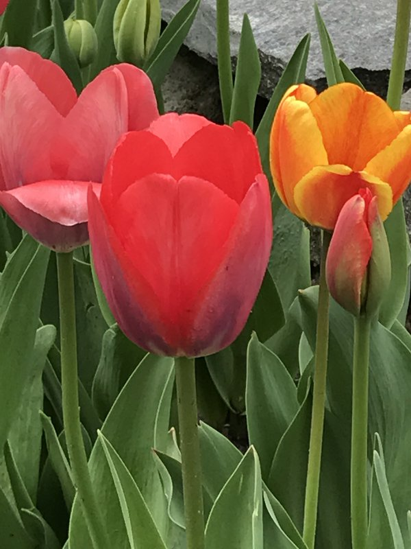 Multicolor Tulips pink and peach thumbnail