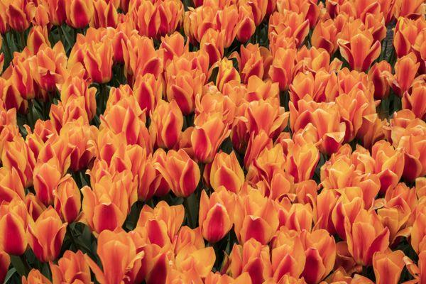 King's Orange Tulips of Holland Michigan thumbnail