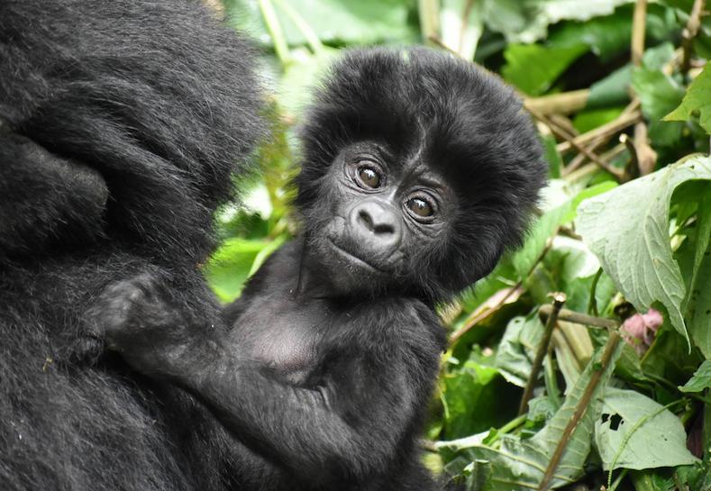 1-infant_mtn_gorilla-katwe_group-oct_19_bwindi-copyright_gorilla_doctors_copy.png