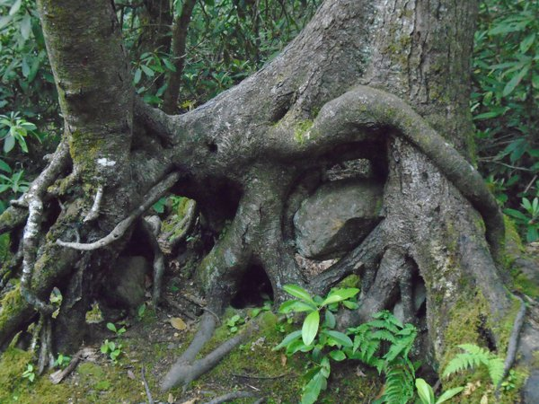 Tree Eats Rock At Joyce Kilmer Memorial Forest thumbnail
