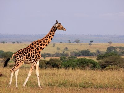 Using their elongated necks just right, giraffes can stay cool on the steamy savannah