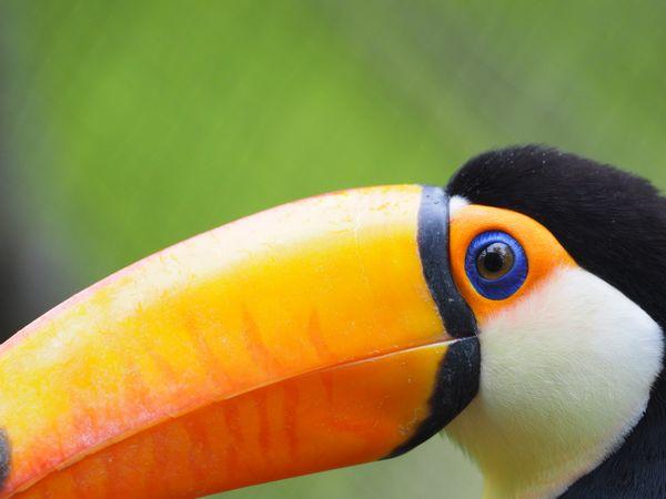 Toucan close-up at John Ball Zoo thumbnail