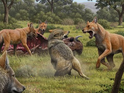 All modern dogs are descended from a wolf species that when extinct around 15,000 years ago. Grey wolves, pictured here fighting for food with now extinct dire wolves (red), are dogs' closest living relative.