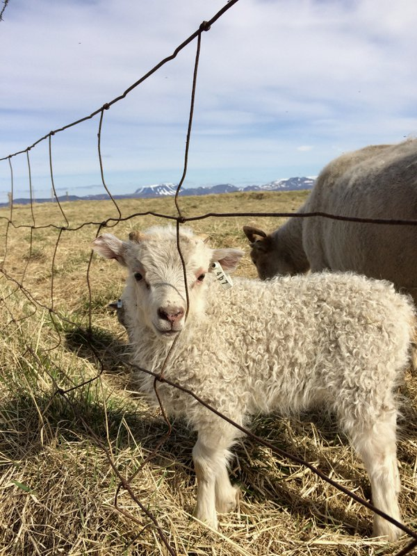 A lamb in Northern Iceland thumbnail