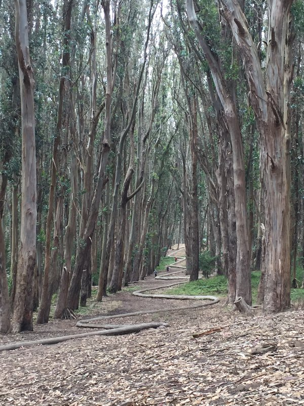 """Wood Line"" by artist Andy Goldsworthy uses fallen Eucalyptus trees to weave through the forests of the Presidio.  thumbnail"