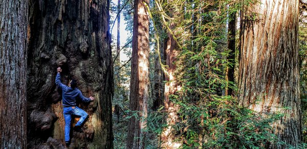 Climbing the Giant Redwoods thumbnail