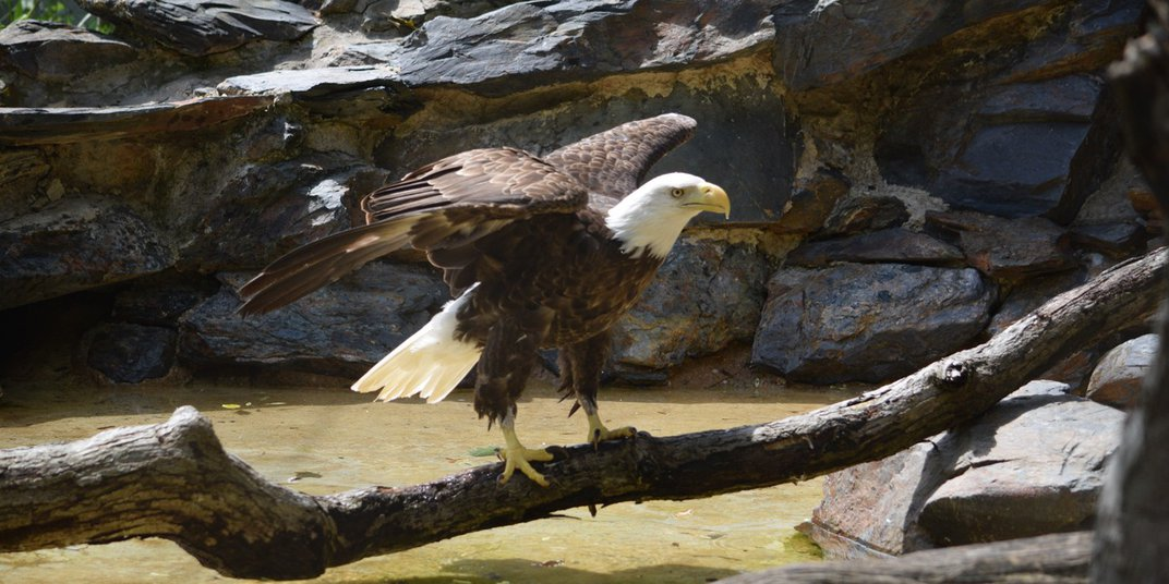 Female bald eagle, Annie, stands on a fallen branch across some shallow water. Her wings are spread.