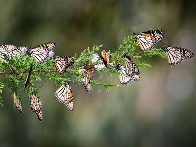Western monarch butterflies spend winter gathered in California's coastal groves.