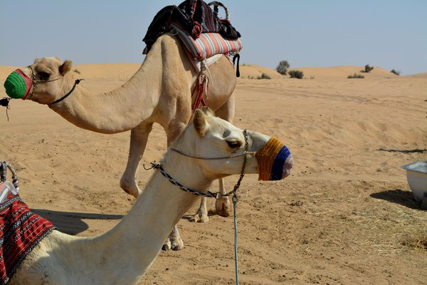 camels couple thumbnail