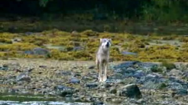 Preview thumbnail for Tracking Coastal Wolves in Canada
