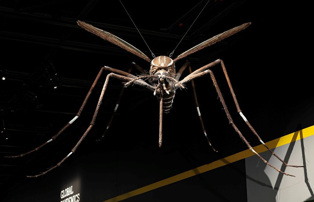 """A giant replica of the Aedes mosquito, a known vector for the disease yellow fever, has been waiting for visitors to return the National Museum of Natural History's """"Outbreak: Epidemics in a Connected World"""" exhibit. (James Di Loreto, Smithsonian)"""
