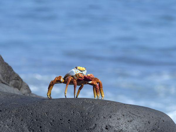 Sally lightfoot crab at Espaniola thumbnail