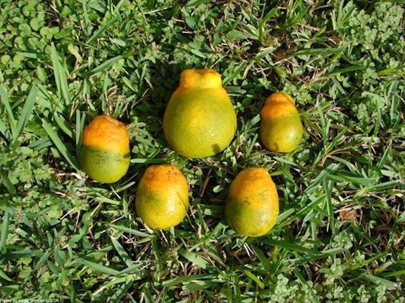Citrus Greening Will Ruin Morning OJ, No Matter How You Slice It