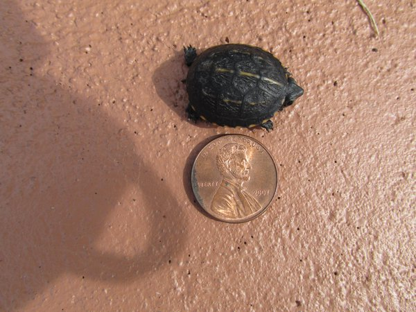 Baby turtle in my driveway thumbnail