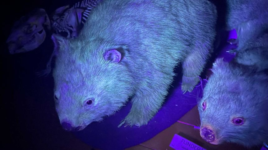 bare-nosed wombats glowing under a black light