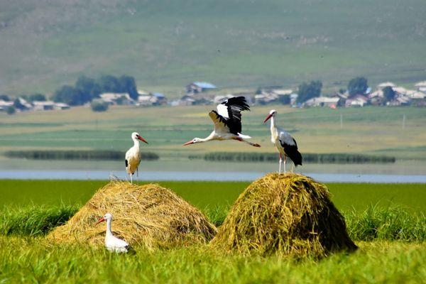 Storks on the shore of Lake Khanchaly thumbnail