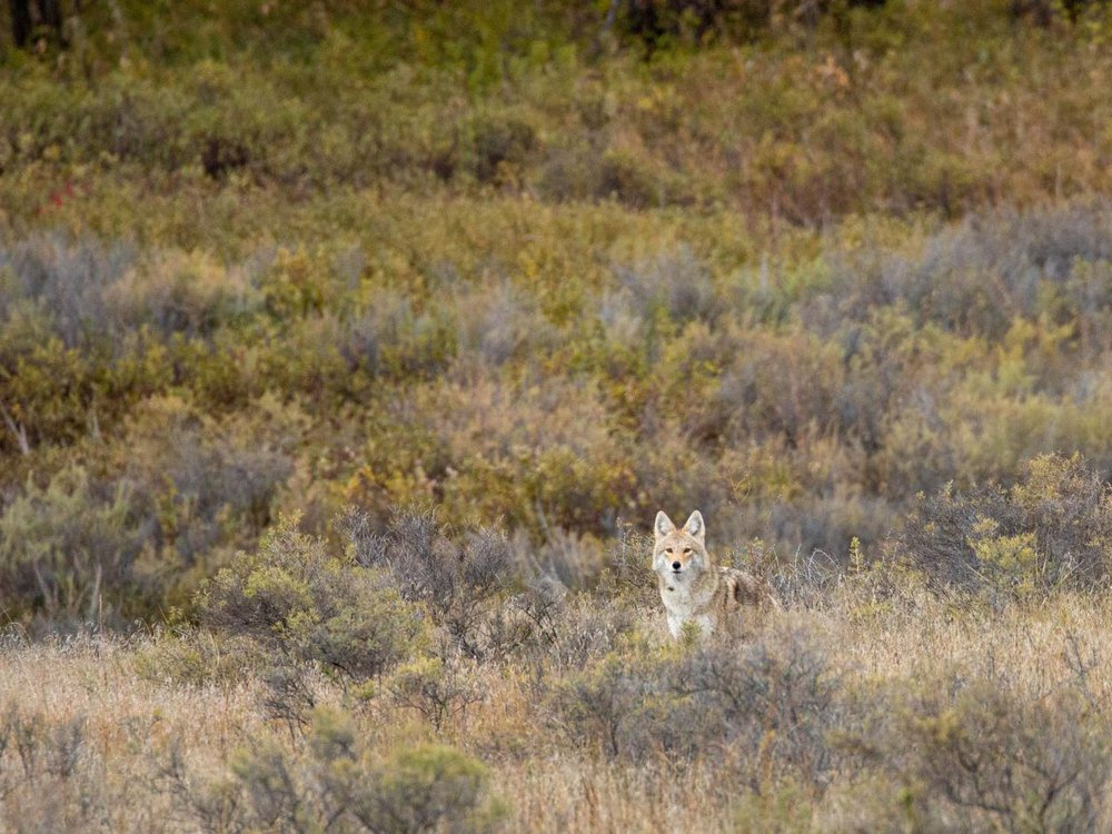 As far as predators go, coyotes are one of the most resourceful and resilient.