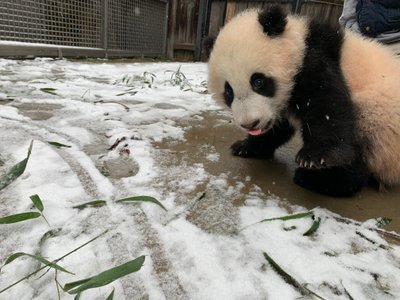 Giant panda cub Xiao Qi Ji experiences snow for the first time just beyond his indoor exhibit on Sunday. Though he did not venture further, his parents Mei Xiang and Tian Tian played around outside.