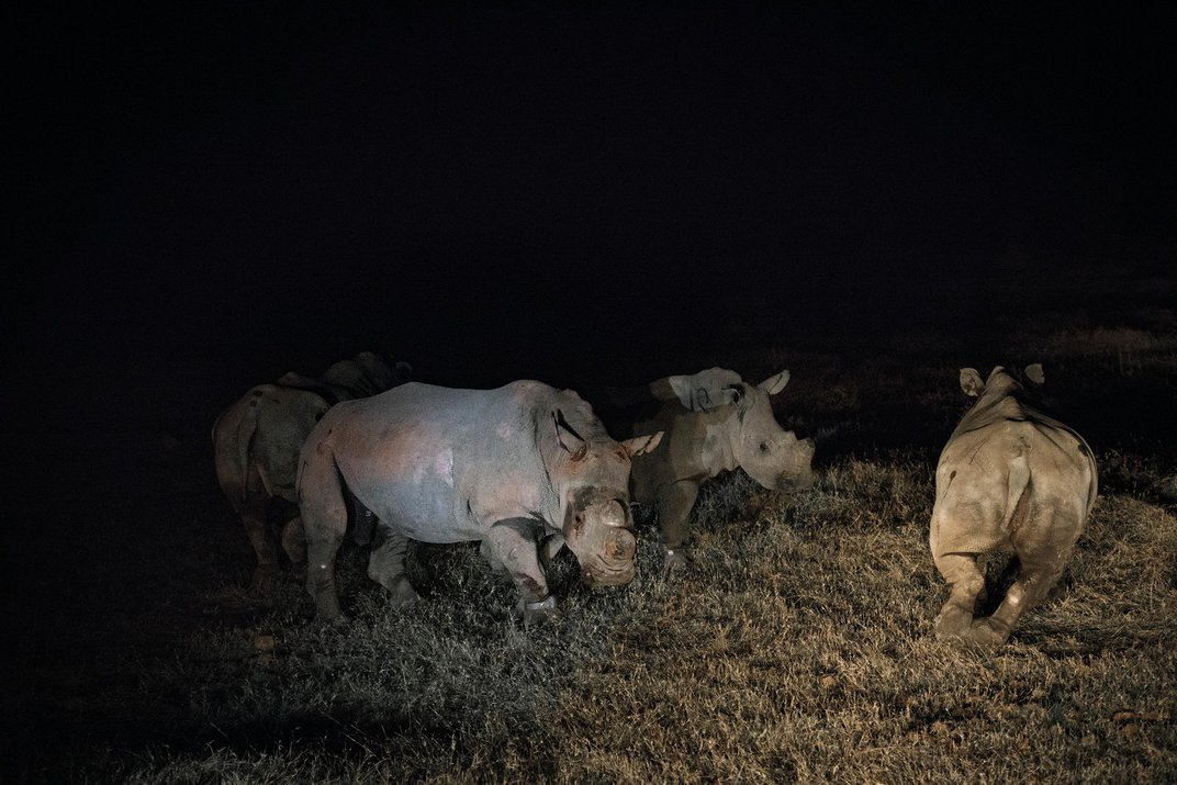 The Dangerous Work of Relocating 5,000-Pound Rhinos