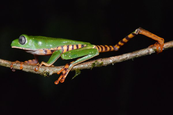 Tree Frog  thumbnail