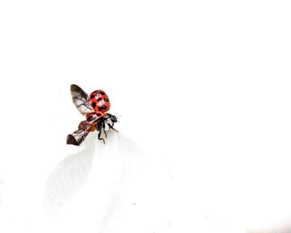 Landing Ladybug  thumbnail