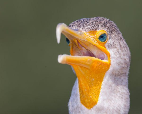 Cormorant's Eyes thumbnail