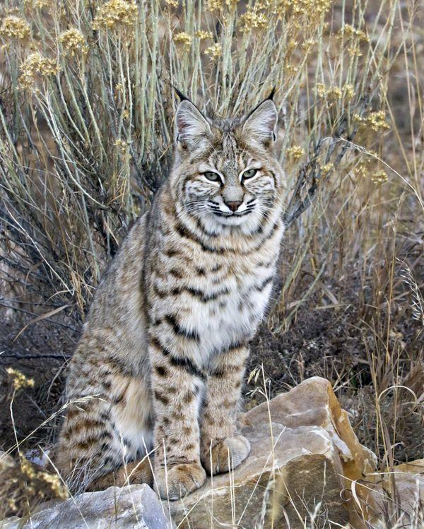 Bobcat, Ridgway, Colorado thumbnail