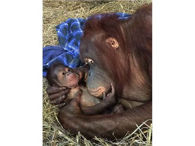 Batang and her infant are doing well and Zoo staff report she is nursing the new male Bornean orangutan.