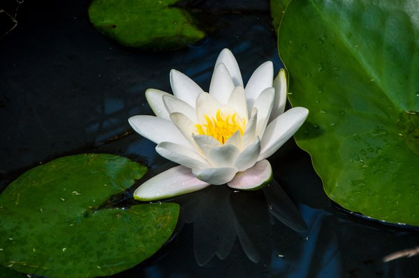 Lotus Flower in a Pond thumbnail