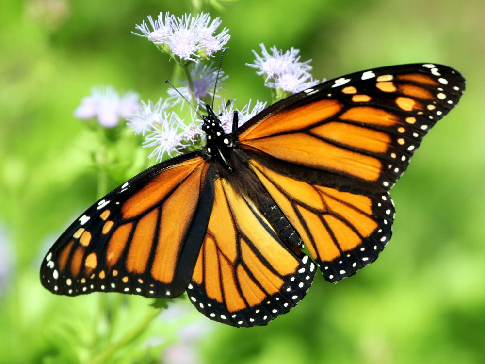 Monarch butterfly on Blue Mistflower