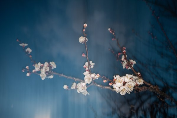 Vintage Cherry Blossom thumbnail