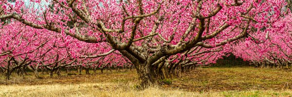 Peach trees in bloom thumbnail
