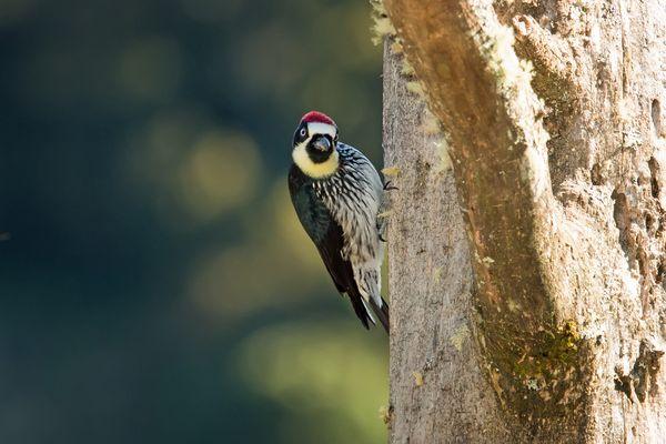 Acorn Woodpecker  thumbnail