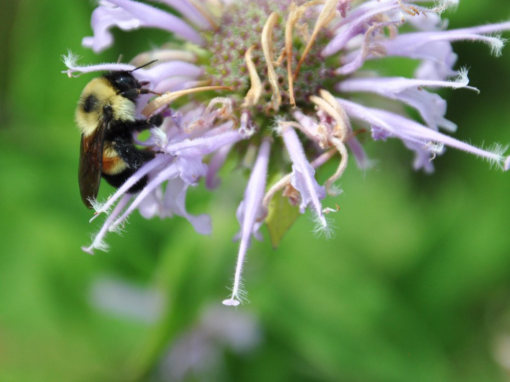 Rusty_Patched_Bumble_Bee_on_Wild_Bergamot_(28626833097).jpg
