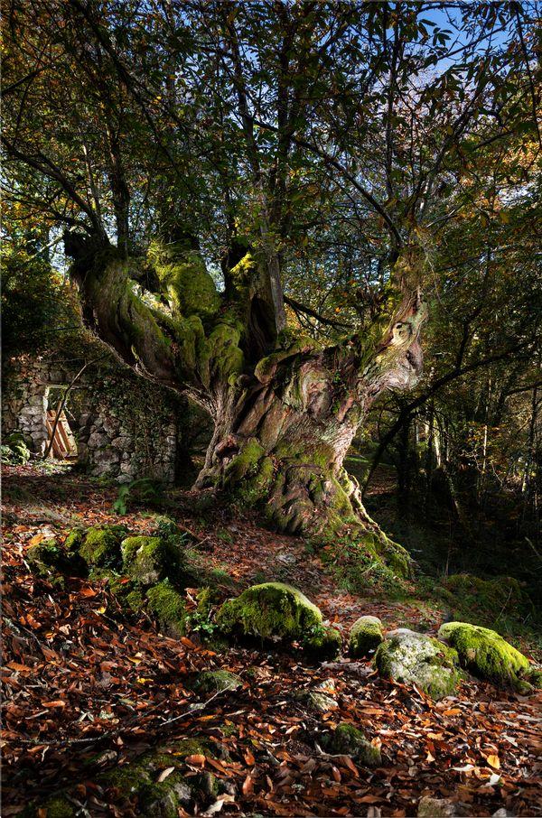 Entrambosríos Millennial Chestnut Tree. Ribeira Sacra. Galicia. Spain thumbnail