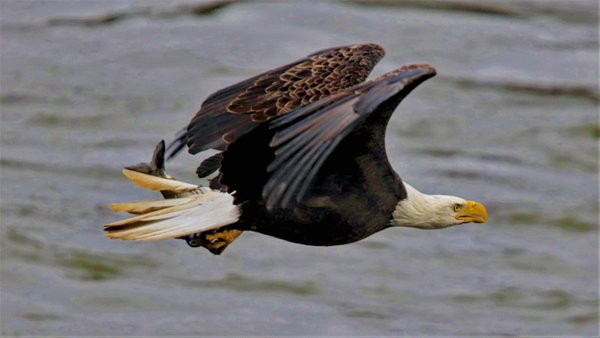Lunchtime for this Bald Eagle thumbnail