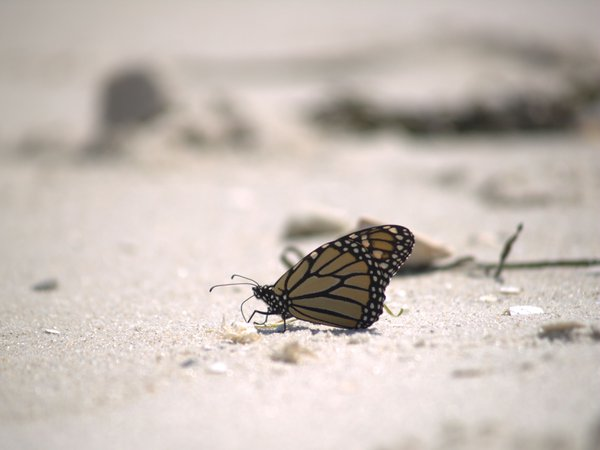 Monarch while at jersey beach thumbnail