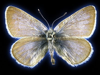 This is the 93-year-old Xerces blue butterfly specimen that researchers collected tissue samples from for this study.