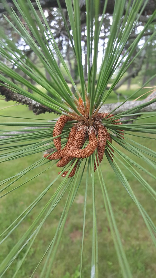 One of the many varieties of Pine trees  thumbnail