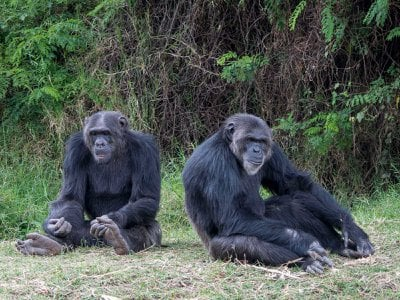 Chimps relax at the Sweetwaters Chimpanzee Sanctuary at Ol Pejeta Conservancy in Kenya. Humans can transmit many diseases to chimps, orangutans and their kin.