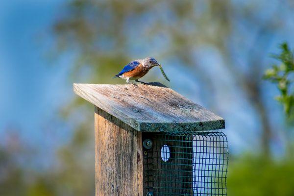 A Bluebird's Lunch thumbnail