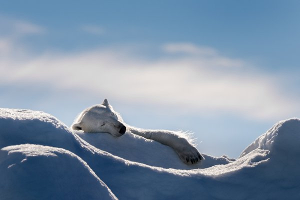 Polar Bear's Sleep thumbnail
